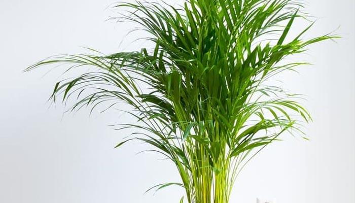 planta que produce oxígeno