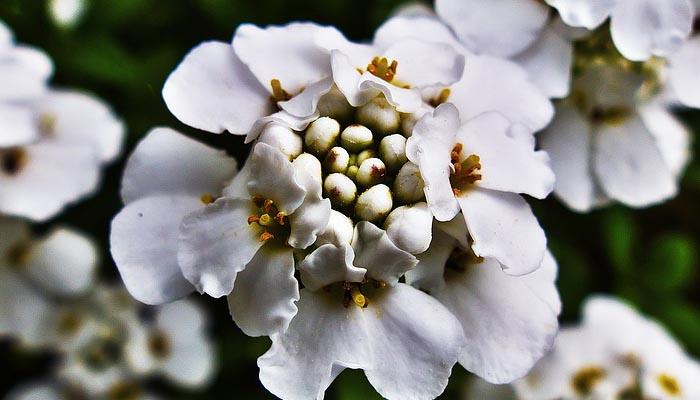 Candytuft planta que florea todo el verano