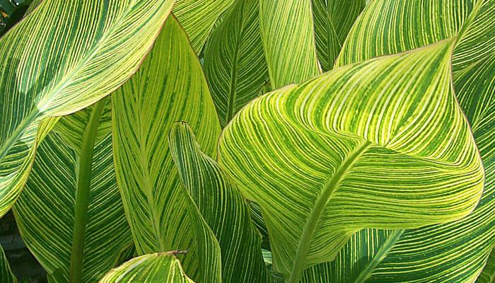 Canna hojas de colores