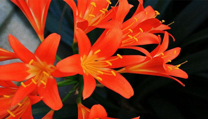 Clivia Miniata planta de colores vivos para regalar