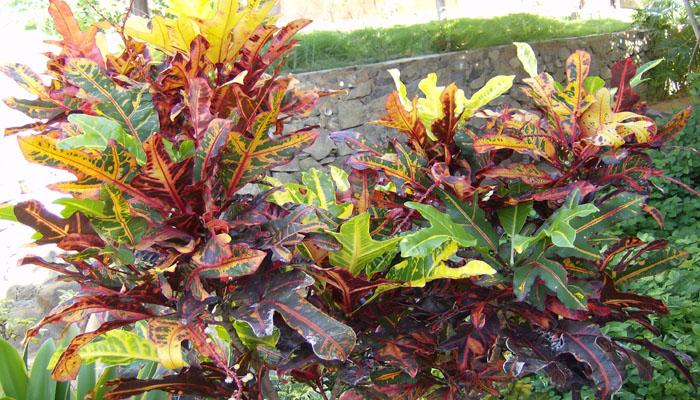 Crotón planta perenne para regalar