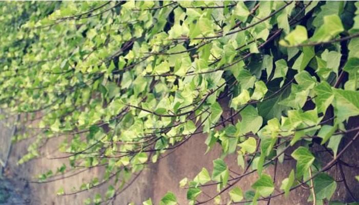 Hereda Helix (Hiedra Común) planta para jardines exteriores