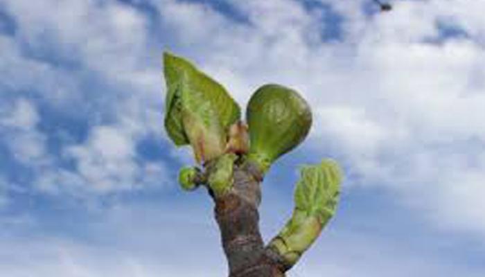 Higo Llorón planta decorativa de habitacion