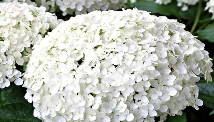 hortensias flores blancas