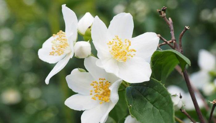 Jazmín planta decorativa para jardin exterior