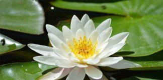 planta de estanque con flores