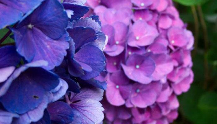 Hortensia planta colorida para jardin exterior