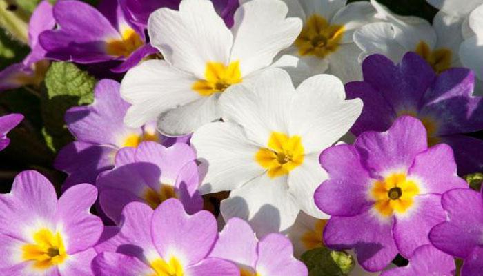 Prímulas planta de flores coloridas para jardin exterior