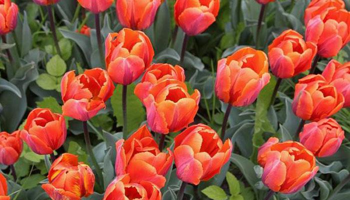 Tulipan planta para exterior perenne