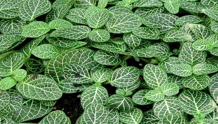 Fittonia albivensis (plantas nerviosas)