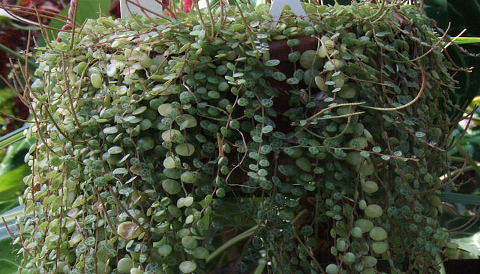 Jade rastrero (Peperomia rotundifolia)