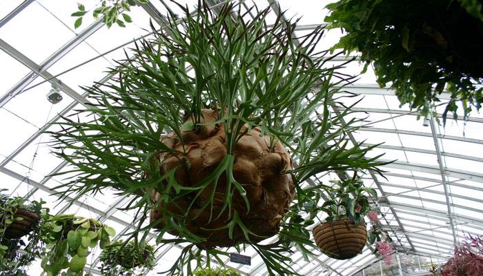 Helecho de Berrendo (Platycerium)