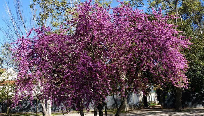 árbol Del Amor Origen Descripción Variedades Tipos Cultivo Cuidados