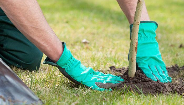 como plantar un-roble