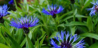 plantas con flores azules