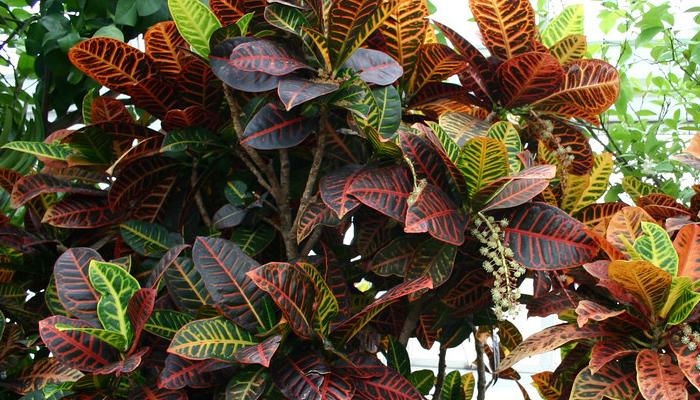 Crotones (Codiaeum variegatum pictum)
