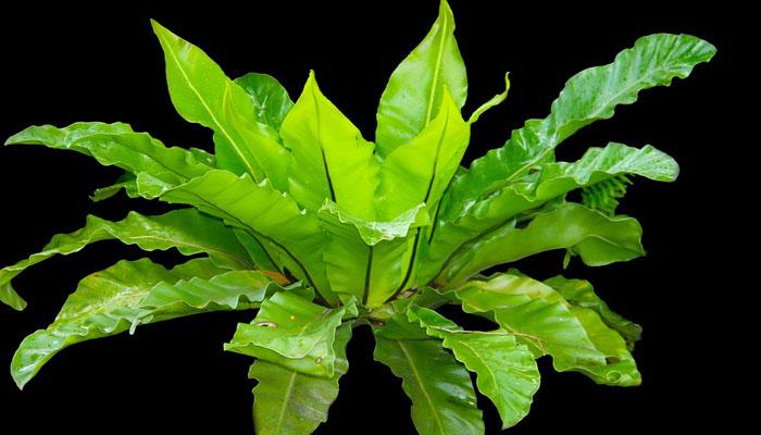 Helecho Nido de pájaro (Asplenium nidus)