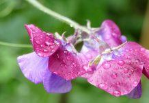 Guisante dulce (Lathyrus) planta para vayas