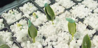 Perlita-para-plantas