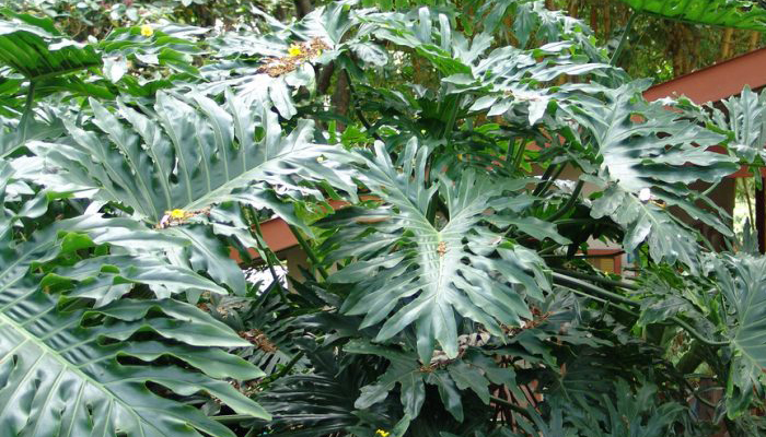 Filodendro (Philodendron sp.)