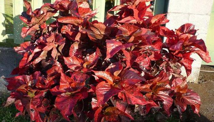 Acalypha wilkesiana planta con hojas rojas