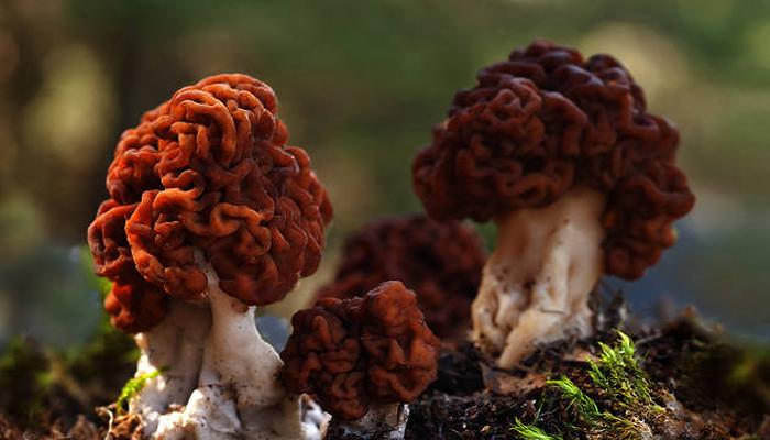 El hongo cerebral (Gyromitra esculenta)