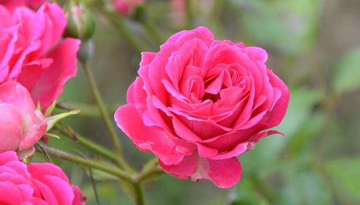 Rosas para decorar balcón