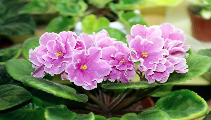 Violeta Africana (Saintpaulia)