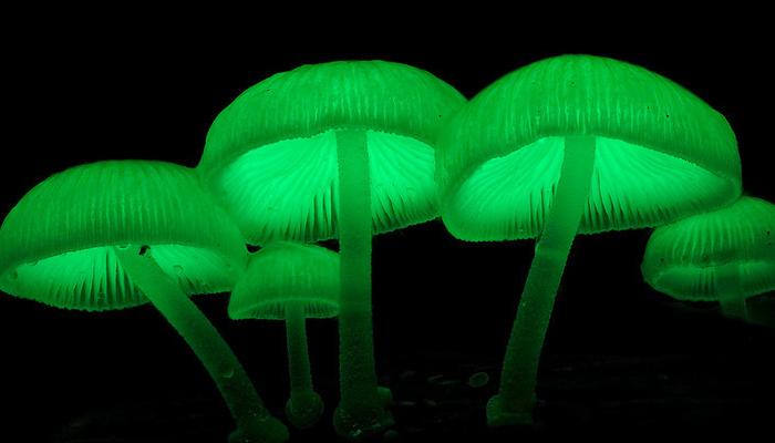 Hongos Que Brillan En La Oscuridad (Mycena Chlorophos)