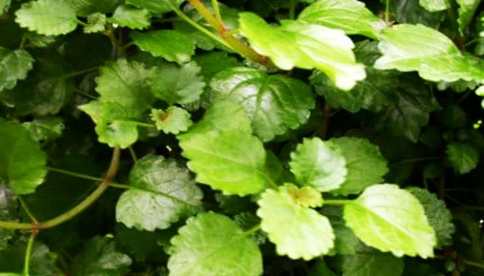 Ivy Houseplant Plectranthus australis
