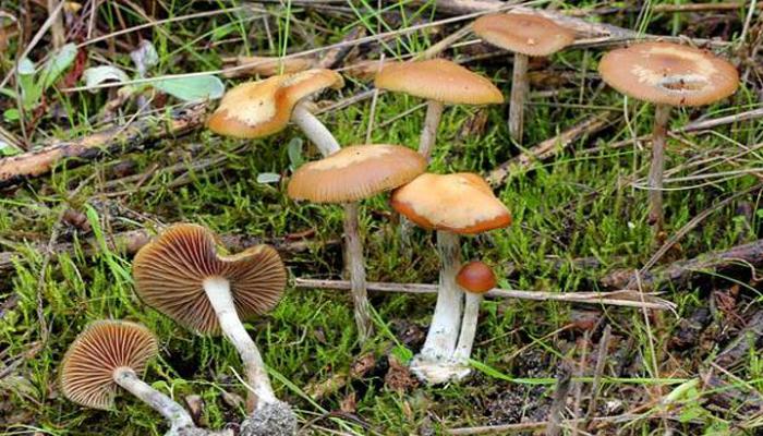 Hongos Mágicos Con Tapas Onduladas (Psilocybe Cyanescens)