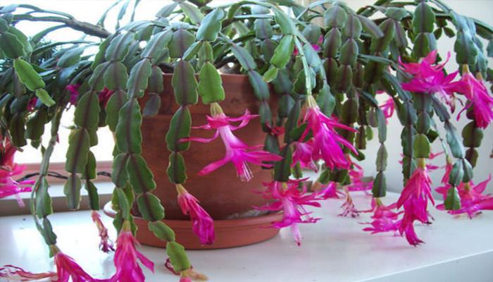 Cactus de Navidad (Schlumbergera x buckleyi)