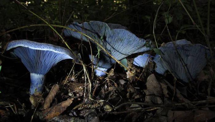 Tapa de leche de añil (Lactarius indigo)