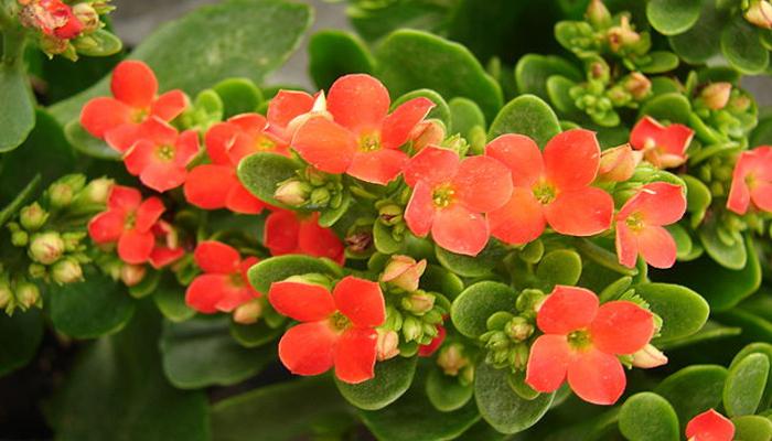 Kalanchoe (Kalanchoe blossfeldiana)