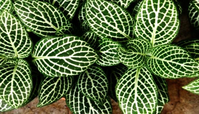 Planta Nerviosa
