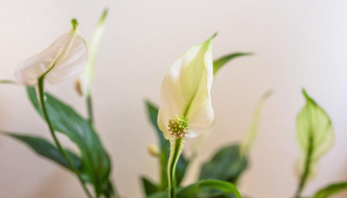 Lirio de la Paz (Spathiphyllum floribundum)