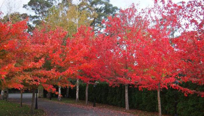 Acer rubrum de hojas rojas