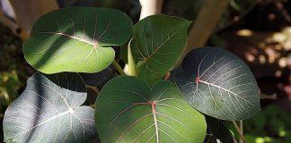 Amate amarillo o Ficus petiolaris
