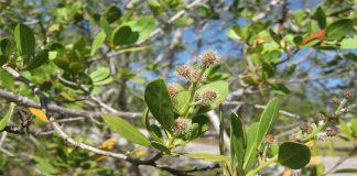 Conocarpus erectus (Botoncillo)