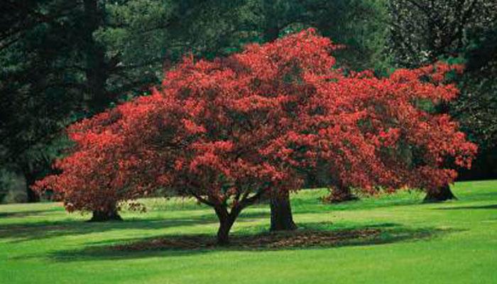 arce japones (acer palmatum) planta con hojas de color rojo