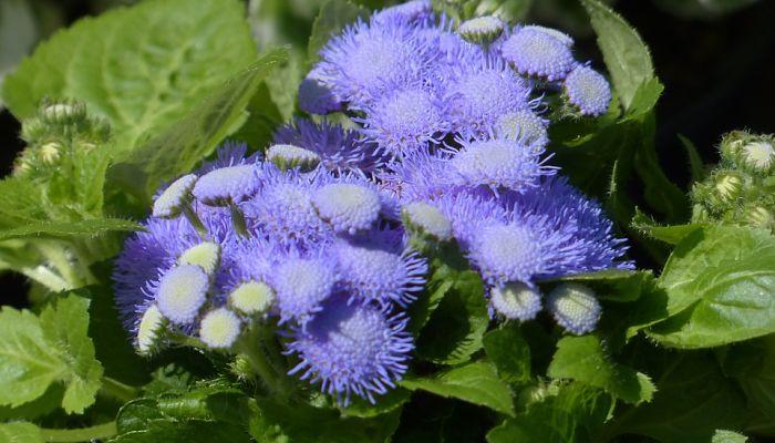 flor de agerato