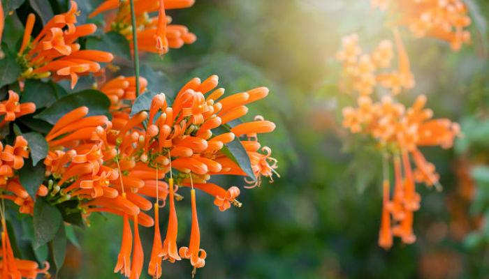 flores de trompeta naranja