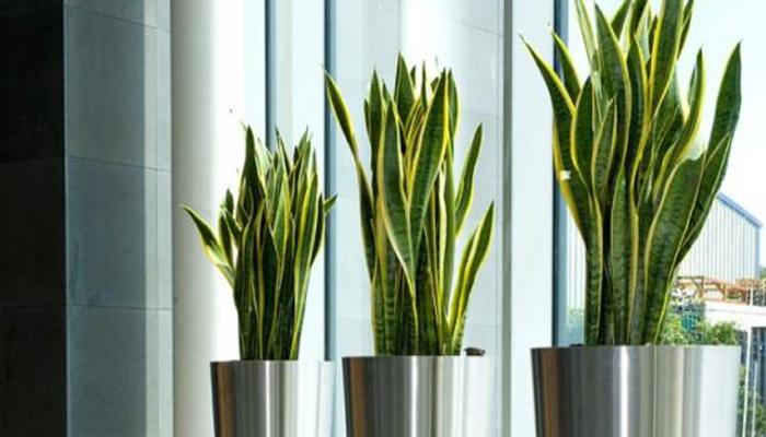plantas serpiente succulenta
