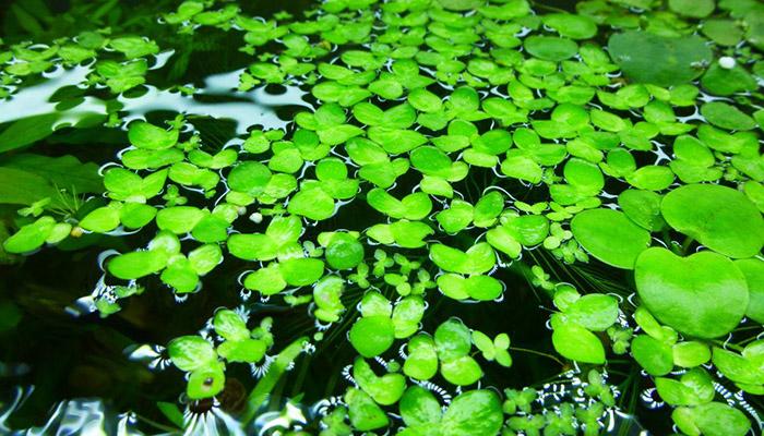 plantas que flotan en el agua