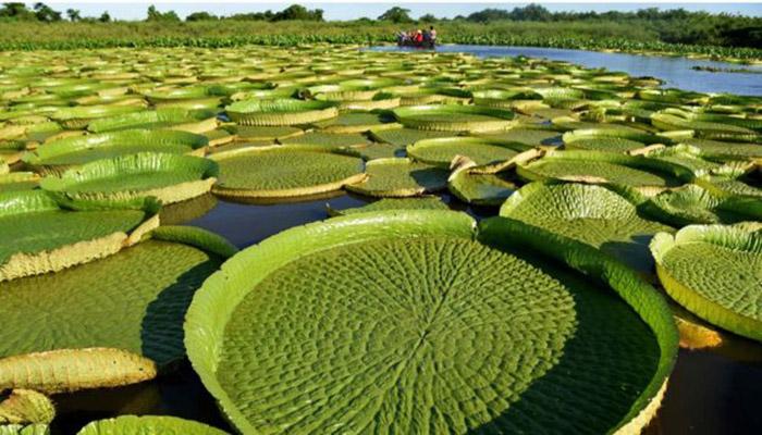 Lirios de agua gigantes de bosque