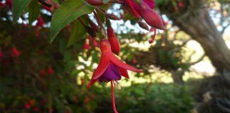 Aljaba (Fucsia magellanica )