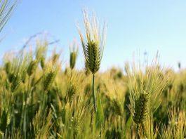 Escanda o trigo