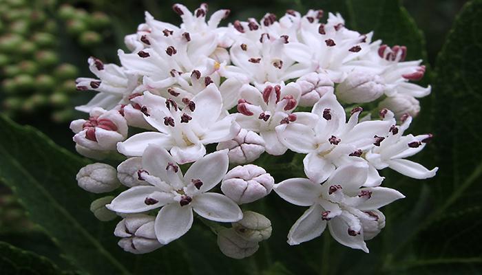 Flor de Yezgo (Sáuco enano)