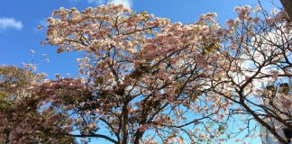 Matilisguate (Tabebuia rosea)