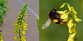 Trébol amarillo (Melilotus officinalis)